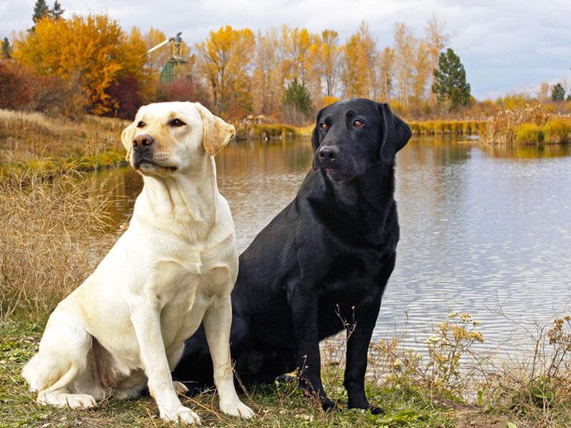 Собаки способны определять онкологические заболевания у человека